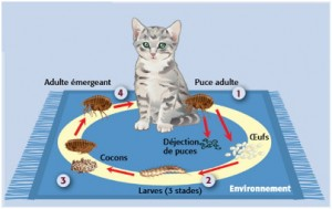 puce-chat